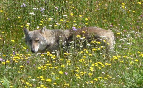 MiNC café 9 september:   wolven en insecten in gasloze wijken