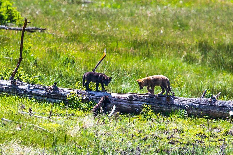 Nieuwe filmbeelden van wolvenwelpen op de Veluwe